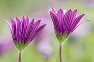Dimorphoteca flowers in full bloom